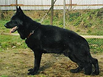 Виагра (беби маленький).  Немецкая овчарка Виагра ( черная)